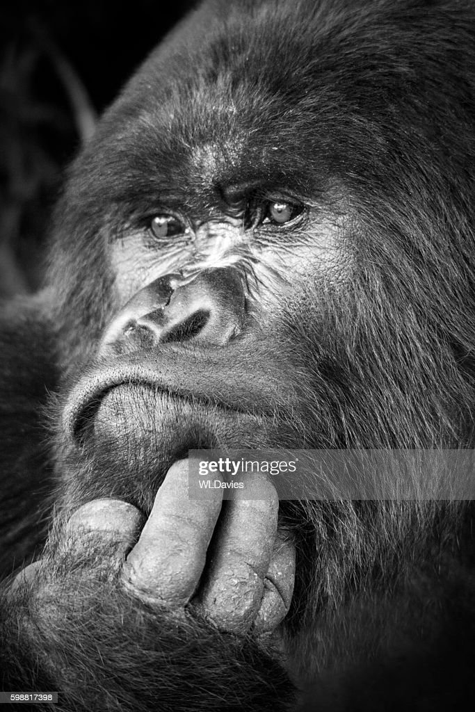Silverback gorilla : Stock Photo