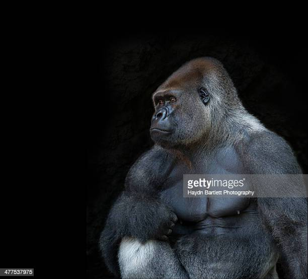 silverback gorilla portrait in profile - gorilla stock pictures, royalty-free photos & images
