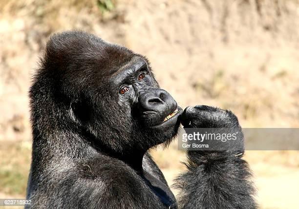 Silverback Gorilla Portrait