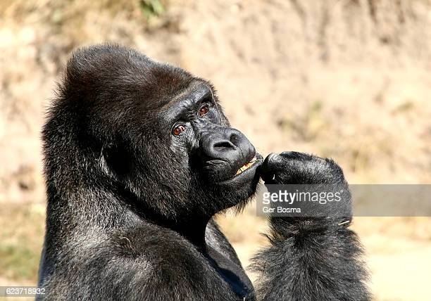 silverback gorilla portrait - gorilla hand stock photos and pictures