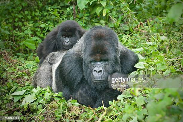 gorila lomo plateado con hijo sobre su espalda, ruanda - gorila lomo plateado fotografías e imágenes de stock