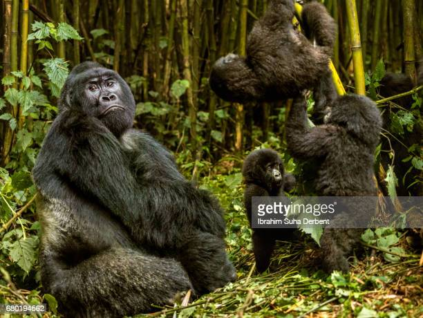 Silverback is sitting and infant mountain gorillas are playing