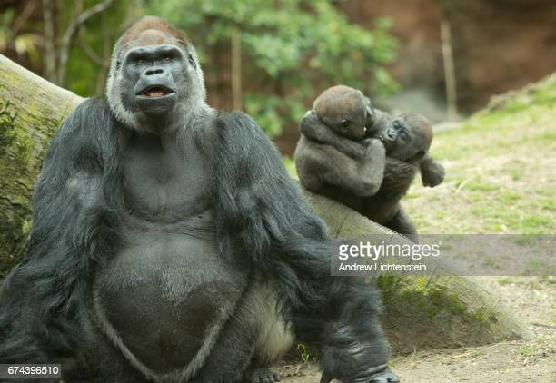 A silverback male lowland gorilla sits in its enclosure at the Bronx Zoo on April 27 2017 in the Bronx New York