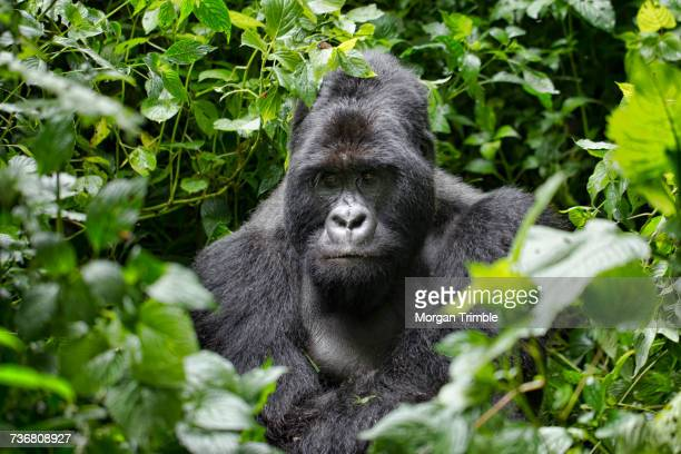 Silverback male mountain gorilla, Gorilla beringei beringei, Virunga National Park, Parq National des Virunga, Democratic Republic of Congo