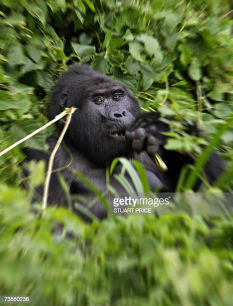 Silverback male mountain Gorilla sits in the dense jungle canopy on the edge of Uganda's Bwindi National Park in this 29 January 2007 photo Bwindi or...