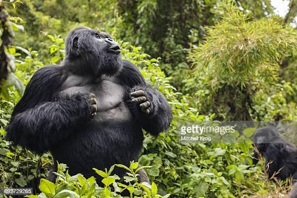 silverback mountain gorilla named guhonda (gorilla gorilla beringei) beating his chest, parc national des volcans, rwanda, africa - gorila lomo plateado fotografías e imágenes de stock
