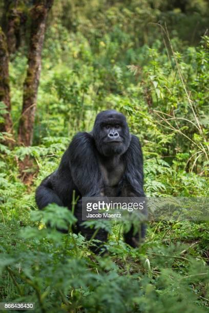 a silverback mountain gorilla standing, volcanoes national park, rwanda. - ruanda fotografías e imágenes de stock