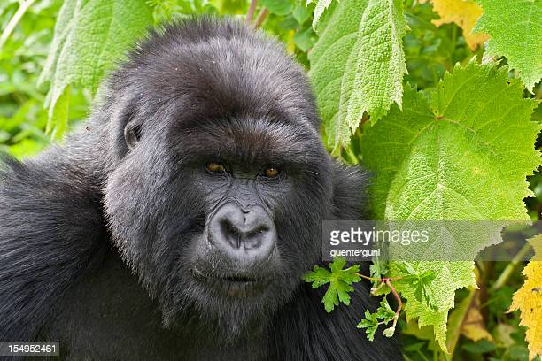 Silverback mountain gorilla, wildlife shot