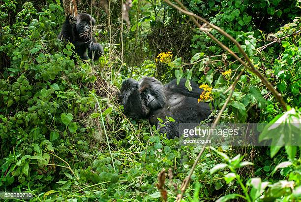 Silverback Mountain Gorilla with juvenile in Rwanda