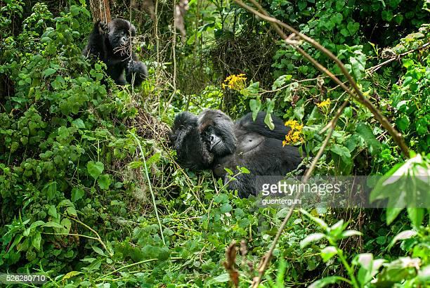 gorille mâle à dos argenté montagne avec la juvénile au rwanda - gorille photos et images de collection