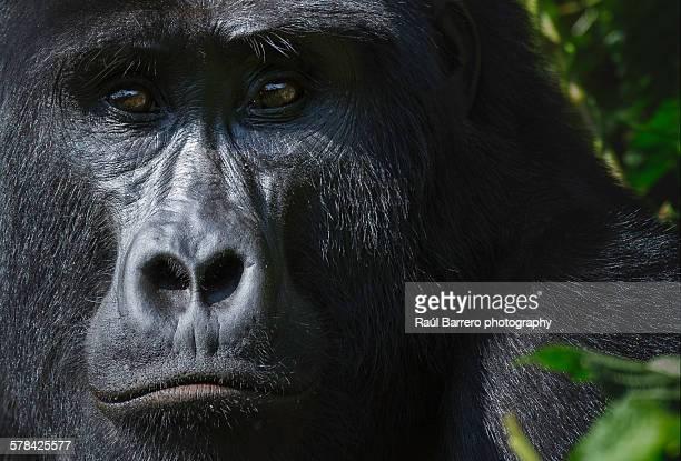 silverback - gorila lomo plateado fotografías e imágenes de stock