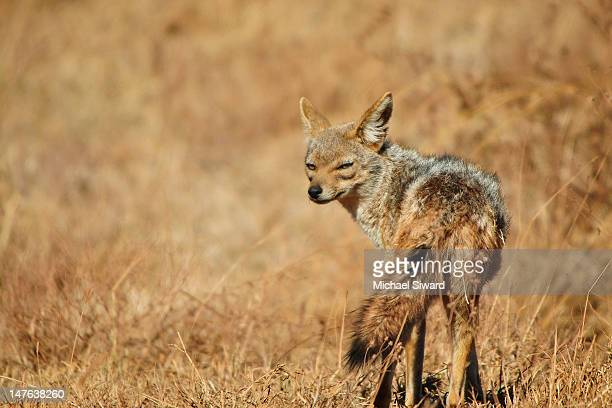 silver-backed jackal staredown - michael siward stock pictures, royalty-free photos & images
