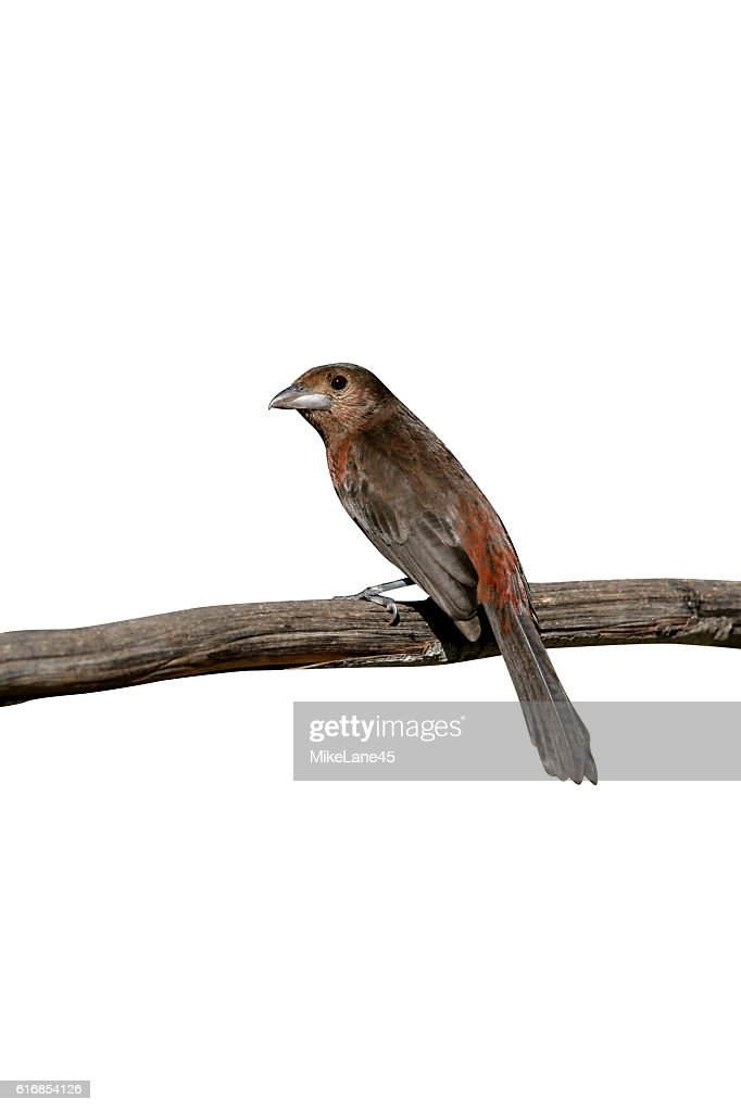 Silver-beaked tanager, Ramphocelus carbo : Stock Photo