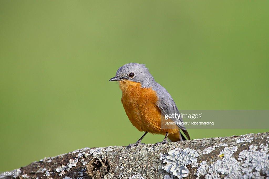 Silverbird (Empidornis semipartitus), Serengeti National Park, Tanzania, East Africa, Africa : Stock Photo