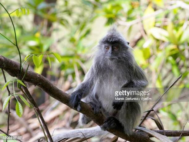 silvered leaf monkey in bako national park - marek stefunko stock pictures, royalty-free photos & images