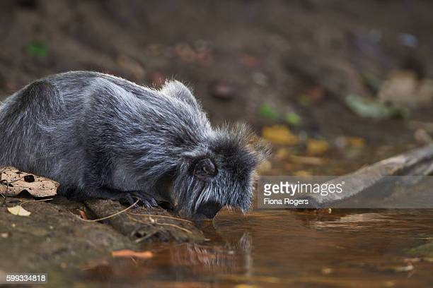 Silvered or silver-leaf langur drinking from a small stream