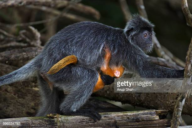Silvered or silver-leaf langur female carrying her baby aged 1-2 weeks under her belly