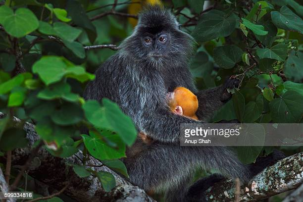Silvered or silver-leaf langur female sitting ina tree holding a baby aged 1-2 weeks