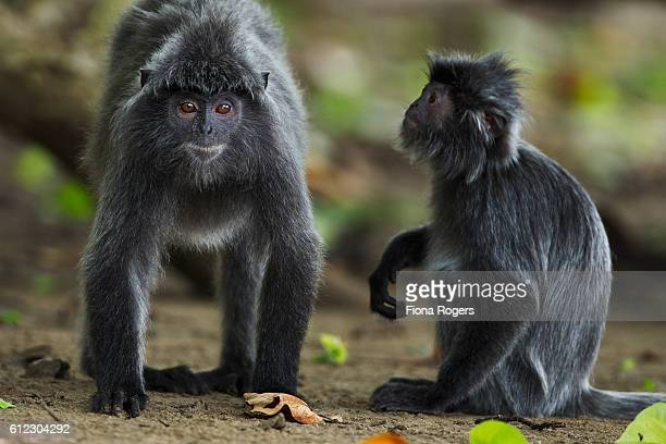 Silvered or silver-leaf langurs grooming