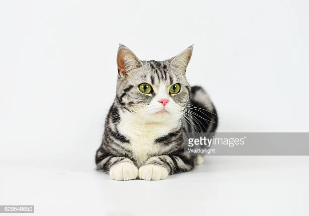 silver-spotted tabby cat with white background - shorthair cat stock pictures, royalty-free photos & images
