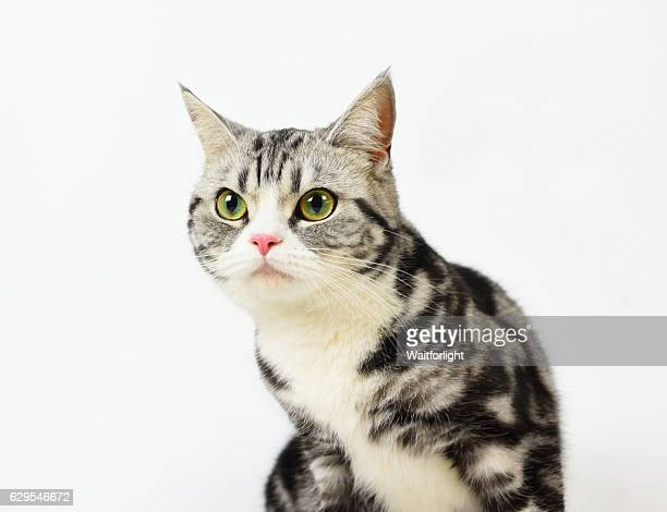 Silver-spotted tabby Cat with white background