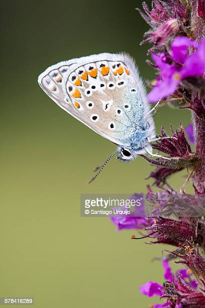 Silver-studded blue butterly on a heather