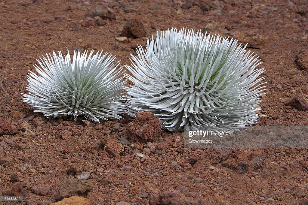 Silversword ferns in a field, Haleakala National Park, Maui, Hawaii Islands, USA : Stock Photo