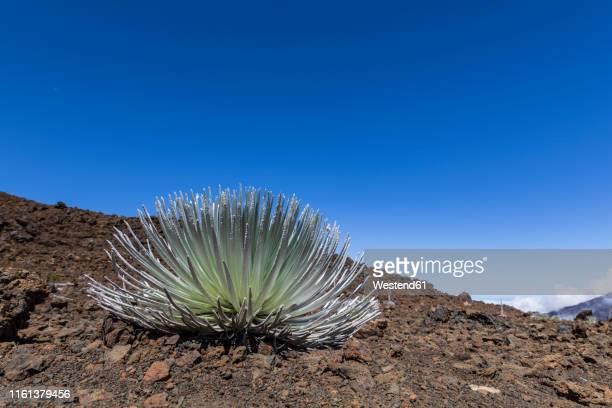 silversword growing in volcanic crater, haleakala, maui, hawaii, usa - argyroxiphium sandwicense - fotografias e filmes do acervo