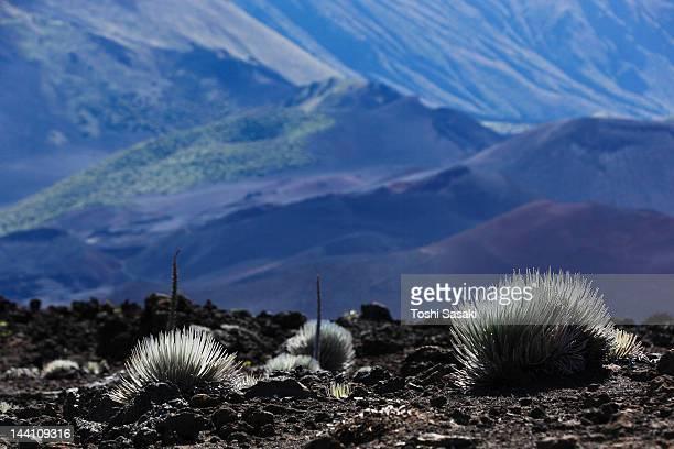 silversword growing on haleakala crater - argyroxiphium sandwicense - fotografias e filmes do acervo