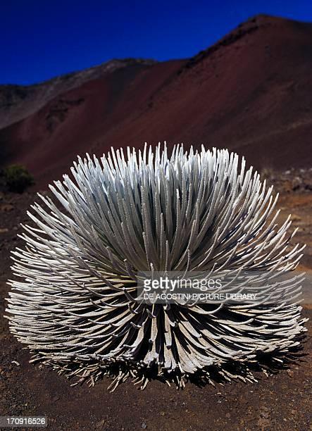 Silversword Haleakala National Park Maui Island Hawaii United States of America
