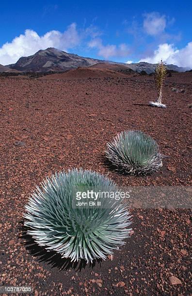 silversword plants growing in volcanic crater. - argyroxiphium sandwicense - fotografias e filmes do acervo