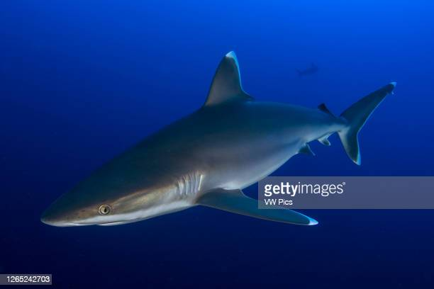Silvertip shark in cleaning station of San Benedicto Island, Revillagigedo.