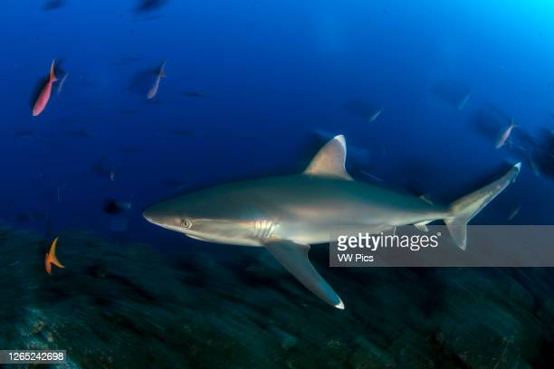 Silvertip shark in San Benedicto Island in a cleaning station where sharks go to get cleaned from parasites, Revillagigedo, Mexico.