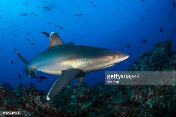 Silvertip Shark in san Benedicto Island, Revillagigedo.