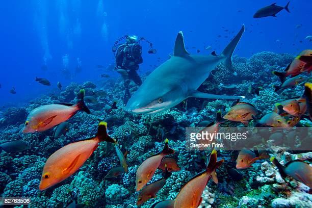silvertip shark (carcharhinus albimarginatus)  - reef shark stock pictures, royalty-free photos & images
