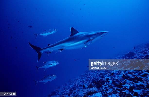 silvertip shark,carcharhinus albimarginatus, with caranx, polynesia - jack fish stock pictures, royalty-free photos & images
