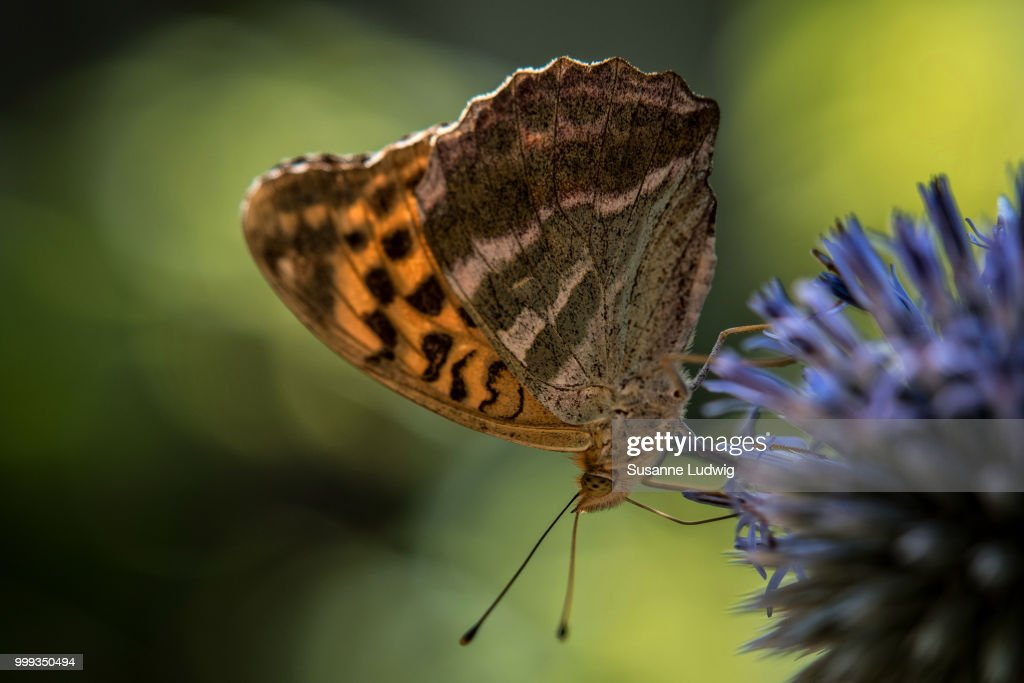 silver-washed fritillary : Stock Photo