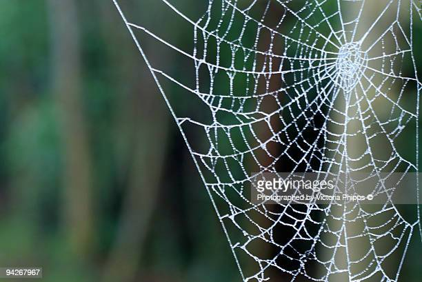 Silverweb