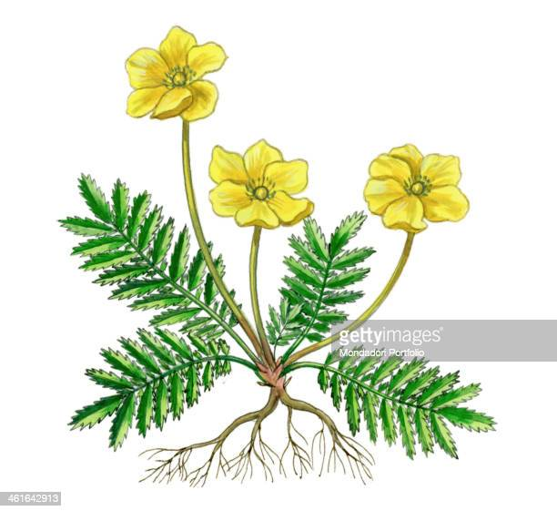 Silverweed by Giglioli E 20th Century ink and watercolour on paper Whole artwork view Drawing of the plant and the flower of Silverweed