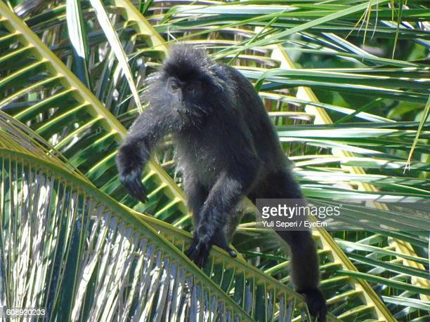 Silvery Lutung Monkey On Palm Tree