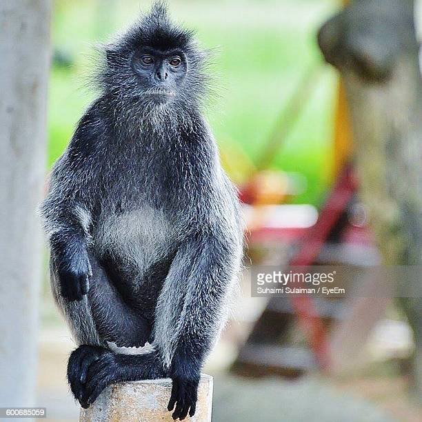 silvery lutung sitting on wooden post at zoo - suhaimi 個照片及圖片檔