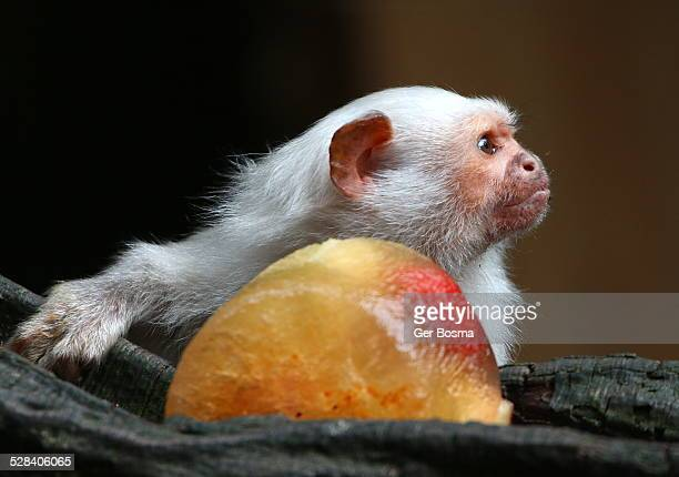 silvery marmoset - monkey paw stock photos and pictures