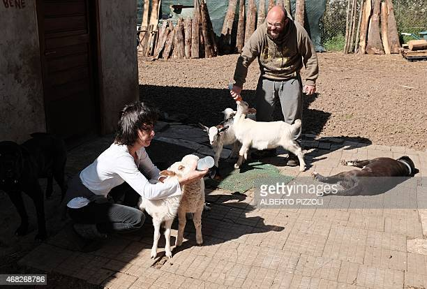 MACKINNON Silvia Fassetta one of the founders of The Green Place an animal refuge bottle feeds lambs and baby goats on March 31 2015 in Nepi Nearly...