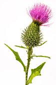 Silybum marianum -milk thistle flower-head