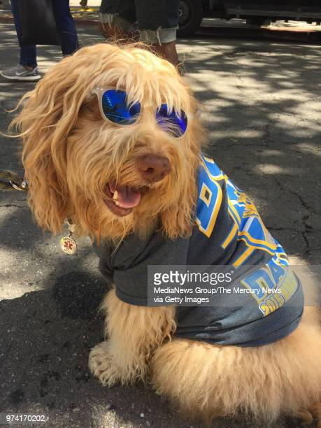 Simba the Dubsloving labradoodle before the start of the Warriors parade in Oakland Calif on June 12 2018 'He comes every year' Simbaâu20acs human...