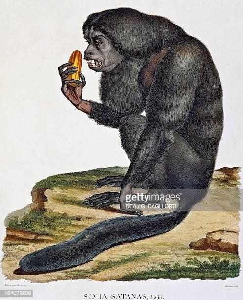 Simia satanas monkey from the Orinoco engraving from Recueil d'observation de zoologie et d'anatomie comparee faites dans l'ocean atlantique dans...