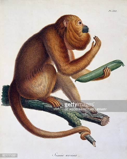 Simia ursina monkey engraving from Travels of Alexander von Humboldt and Aime' Bonpland in South America Observations of zoology and comparative...