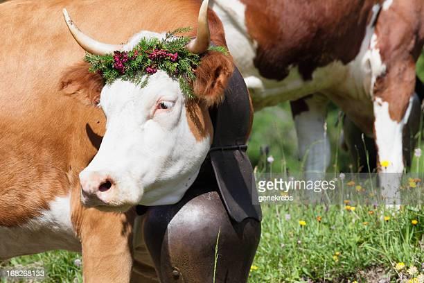 Simmental Kuh auf dem Weg zum Sommer alp Viehweide
