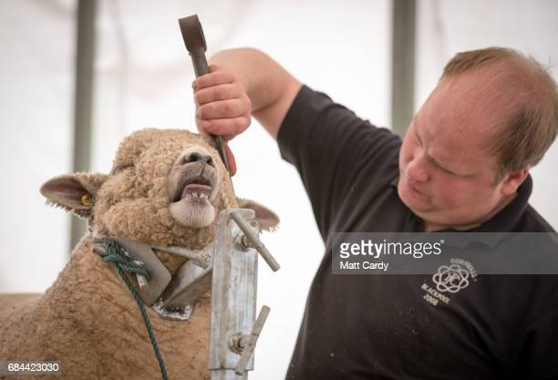 Simon Gilbert trims the coat of Wilfred his Ryeland sheep who he is showing at the 122nd Devon County Show at the Westpoint Arena and Showground in...