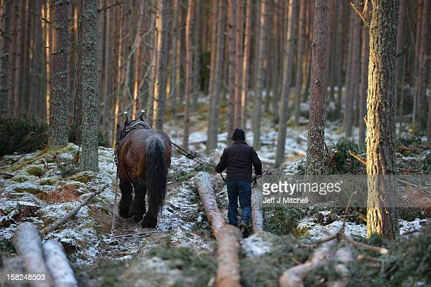 Simon Lenihan a full time commercial horse logger removes a Scots Pine tree from the Balmoral Estate with Sultan De Le Campagne a 15 year old Belgian...